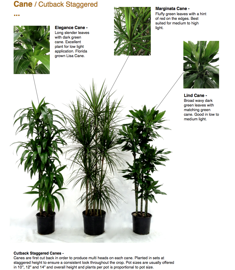 """Cane / Cutback Staggered ...  Cutback Staggered  Canes - Canes are first cut back in order to produce multi heads on each cane. Planted in sets at staggered height to ensure a consistent look throughout the crop. Pot sizes are usually offered in 10'', 12"""" and 14"""" and overall height and plants per pot is proportional to pot size.  Elegance Cane - Long slender leaves with dark green cane. Excellent plant for low light application. Florida grown Lisa Cane.  Marginata Cane - Fluffy green leaves with a hint of red on the edges. Best suited for medium to high light.  Lind Cane - Broad wavy dark green leaves with matching green cane. Good in low to medium light.  CapriFarms.com"""