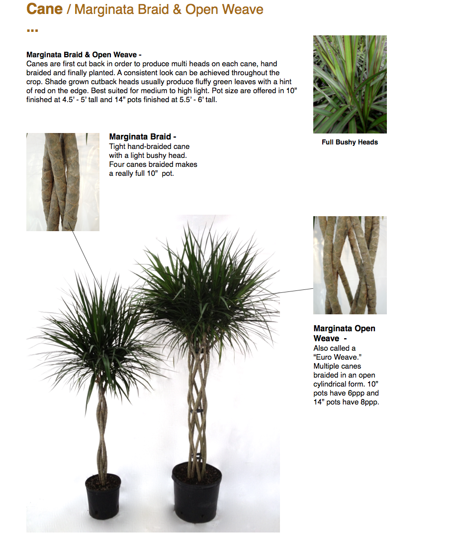 """Cane / Marginata Braid & Open Weave …  Marginata Braid & Open Weave - Canes are first cut back in order to produce multi heads on each cane, hand braided and finally planted. A consistent look can be achieved throughout the crop. Shade grown cutback heads usually produce fluffy green leaves with a hint of red on the edge. Best suited for medium to high light. Pot size are offered in 10"""" finished at 4.5' - 5' tall and 14"""" pots finished at 5.5' - 6' tall.  Marginata Braid - Tight hand-braided cane with a light bushy head. Four canes braided makes a really full 10"""" pot.  Full Bushy Heads Marginata Open Weave - Also called a """"Euro Weave."""" Multiple canes braided in an open cylindrical form. 10"""" pots have 6ppp and 14"""" pots have 8ppp.  CapriFarms.com"""