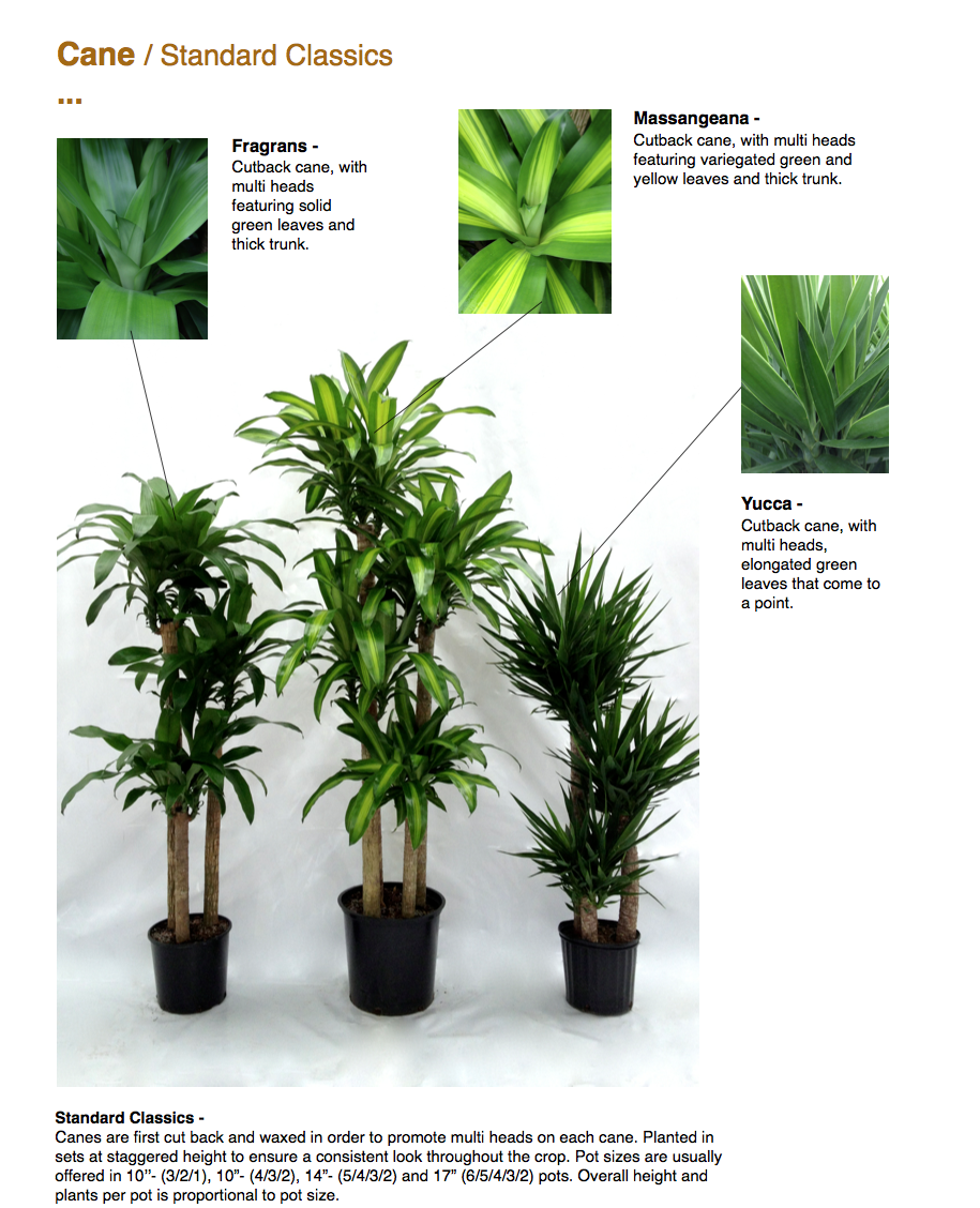 """Cane / Standard Classics ...  Massangeana - Cutback cane, with multi heads featuring variegated green and yellow leaves and thick trunk.  Fragrans - Cutback cane, with multi heads featuring solid green leaves and thick trunk.  Standard Classics - Canes are first cut back and waxed in order to promote multi heads on each cane. Planted in sets at staggered height to ensure a consistent look throughout the crop. Pot sizes are usually offered in 10''- (3/2/1), 10""""- (4/3/2), 14""""- (5/4/3/2) and 17"""" (6/5/4/3/2) pots. Overall height and plants per pot is proportional to pot size.  Yucca - Cutback cane, with multi heads, elongated green leaves that come to a point.  CapriFarms.com"""
