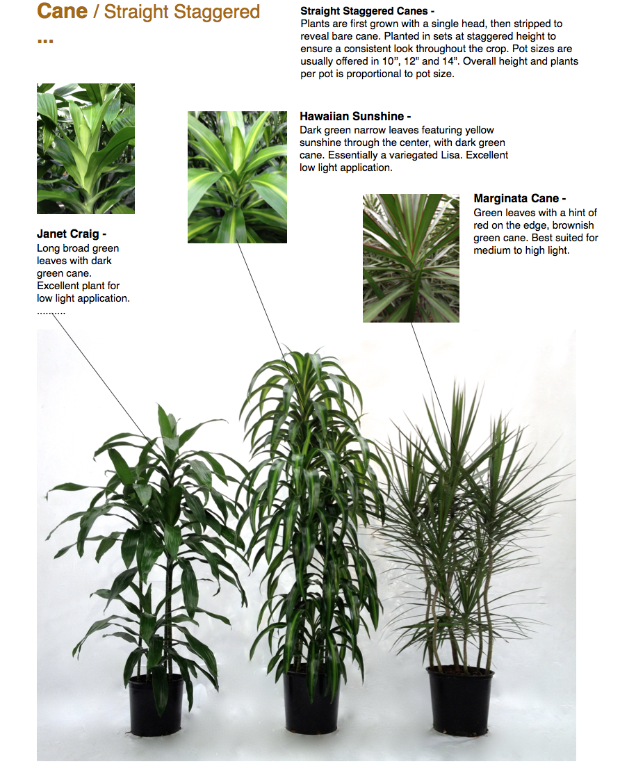 """Cane / Straight Staggered ...  Janet Craig - Long broad green leaves with dark green cane. Excellent plant for low light application. ..........  Straight Staggered Canes - Plants are first grown with a single head, then stripped to reveal bare cane. Planted in sets at staggered height to ensure a consistent look throughout the crop. Pot sizes are usually offered in 10'', 12"""" and 14"""". Overall height and plants per pot is proportional to pot size.  Hawaiian Sunshine - Dark green narrow leaves featuring yellow sunshine through the center, with dark green cane. Essentially a variegated Lisa. Excellent low light application.  Marginata Cane - Green leaves with a hint of red on the edge, brownish green cane. Best suited for medium to high light.  CapriFarms.com"""
