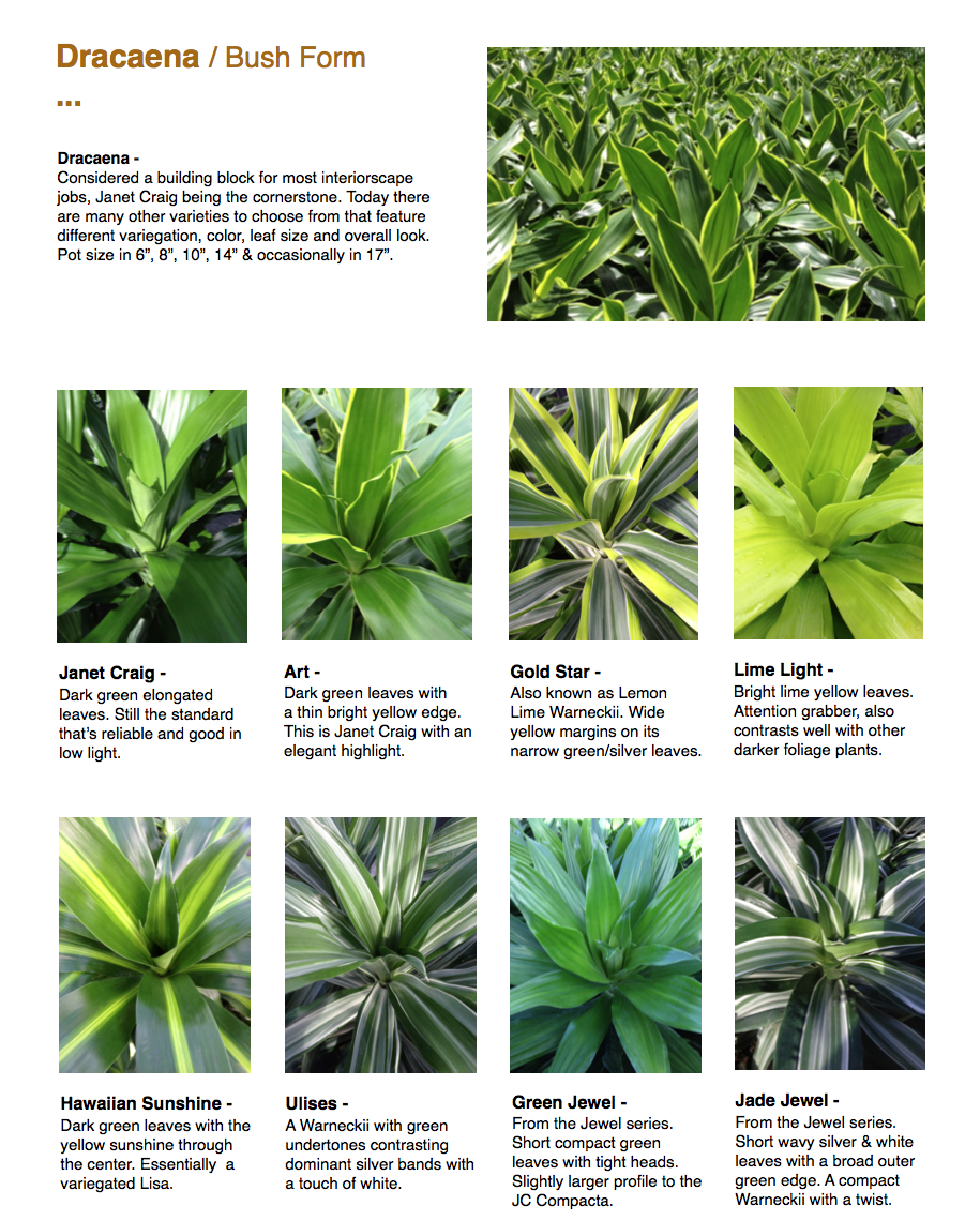 """Dracaena / Bush Form ...  Dracaena - Considered a building block for most interiorscape jobs, Janet Craig being the cornerstone. Today there are many other varieties to choose from that feature different variegation, color, leaf size and overall look. Pot size in 6"""", 8"""", 10"""", 14"""" & occasionally in 17"""".  Janet Craig - Dark green elongated leaves. Still the standard that's reliable and good in low light.  Hawaiian Sunshine - Dark green leaves with the yellow sunshine through the center. Essentially a variegated Lisa.  Art - Dark green leaves with a thin bright yellow edge. This is Janet Craig with an elegant highlight.  Ulises - A Warneckii with green undertones contrasting dominant silver bands with a touch of white.  Gold Star - Also known as Lemon Lime Warneckii. Wide yellow margins on its narrow green/silver leaves.  Green Jewel - From the Jewel series. Short compact green leaves with tight heads. Slightly larger profile to the JC Compacta.  Lime Light - Bright lime yellow leaves. Attention grabber, also contrasts well with other darker foliage plants.  Jade Jewel - From the Jewel series. Short wavy silver & white leaves with a broad outer green edge. A compact Warneckii with a twist. CapriFarms.com"""