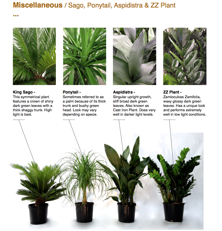 Miscellaneous / Sago, Ponytail, Aspidistra & ZZ Plant ...  King Sago - This symmetrical plant features a crown of shiny dark green leaves with a thick shaggy trunk. High light is best. ............  Ponytail - Sometimes referred to as a palm because of its thick trunk and bushy green head. Look may vary depending on specie. ............  Aspidistra - Singular upright growth, stiff broad dark green leaves. Also known as Cast Iron Plant. Does very well in darker light levels. ............  ZZ Plant - Zamioculcas Zamifolia, waxy glossy dark green leaves. Has a unique look and performs extremely well in low light conditions. ............  CapriFarms.com
