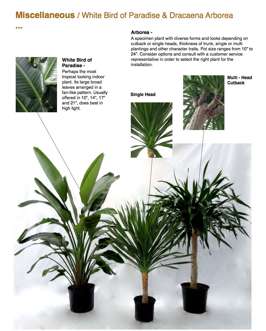 """Miscellaneous / White Bird of Paradise & Dracaena Arborea ...  White Bird of Paradise - Perhaps the most tropical looking indoor plant. Its large broad leaves arranged in a fan-like pattern. Usually offered in 10"""", 14"""", 17"""" and 21"""", does best in high light.  Arborea - A specimen plant with diverse forms and looks depending on cutback or single heads, thickness of trunk, single or multi plantings and other character traits. Pot size ranges from 10"""" to 24"""". Consider options and consult with a customer service representative in order to select the right plant for the installation.  CapriFarms.com"""