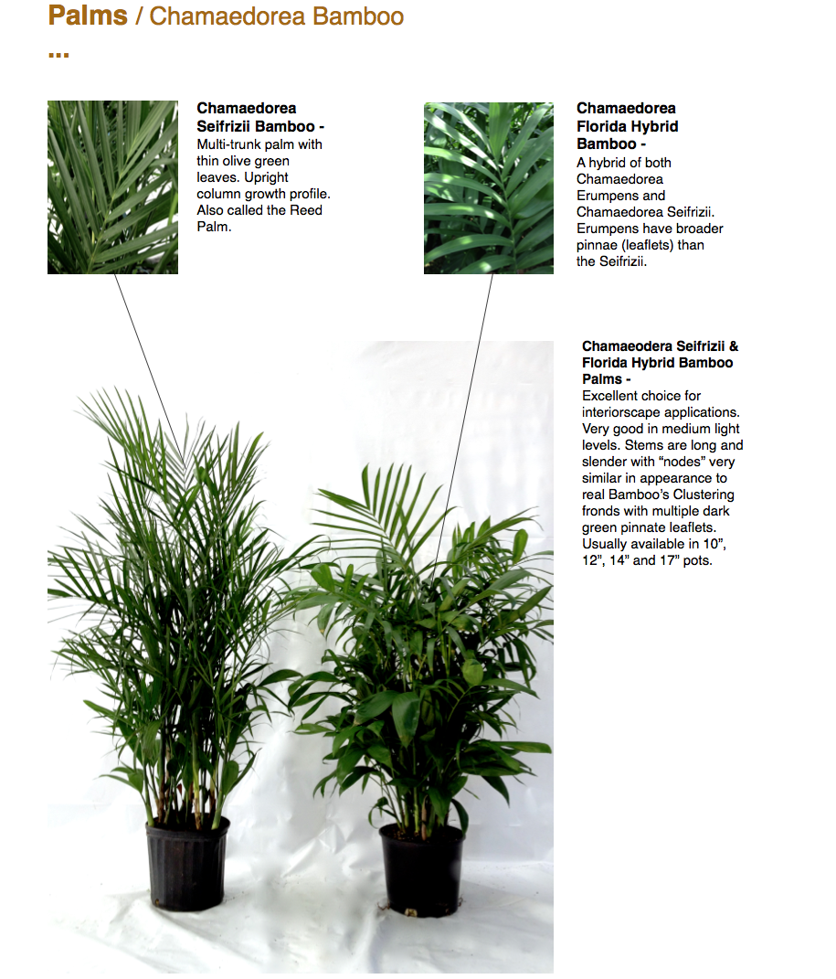 """Palms / Chamaedorea Bamboo ...  Chamaeodera Seifrizii & Florida Hybrid Bamboo Palms - Excellent choice for interiorscape applications. Very good in medium light levels. Stems are long and slender with """"nodes"""" very similar in appearance to real Bamboo's Clustering fronds with multiple dark green pinnate leaflets. Usually available in 10"""", 12"""", 14"""" and 17"""" pots.  Chamaedorea Seifrizii Bamboo - Multi-trunk palm with thin olive green leaves. Upright column growth profile. Also called the Reed Palm.  Chamaedorea Florida Hybrid Bamboo - A hybrid of both Chamaedorea Erumpens and Chamaedorea Seifrizii. Erumpens have broader pinnae (leaflets) than the Seifrizii.  CapriFarms.com"""