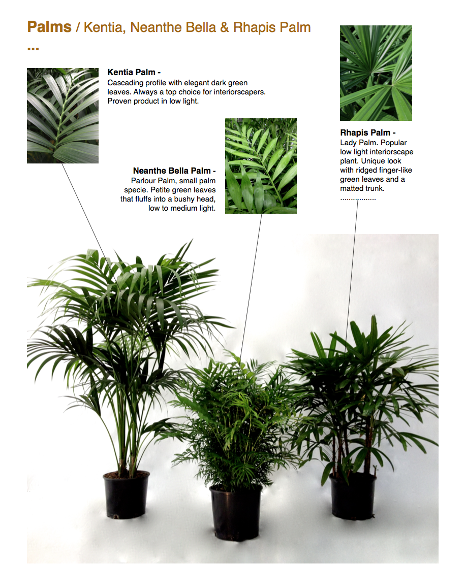 Palms / Kentia, Neanthe Bella & Rhapis Palm ...  Kentia Palm - Cascading profile with elegant dark green leaves. Always a top choice for interiorscapers. Proven product in low light.  Neanthe Bella Palm - Parlour Palm, small palm specie. Petite green leaves that fluffs into a bushy head, low to medium light.  Rhapis Palm - Lady Palm. Popular low light interiorscape plant. Unique look with ridged finger-like green leaves and a matted trunk. .................  CapriFarms.com