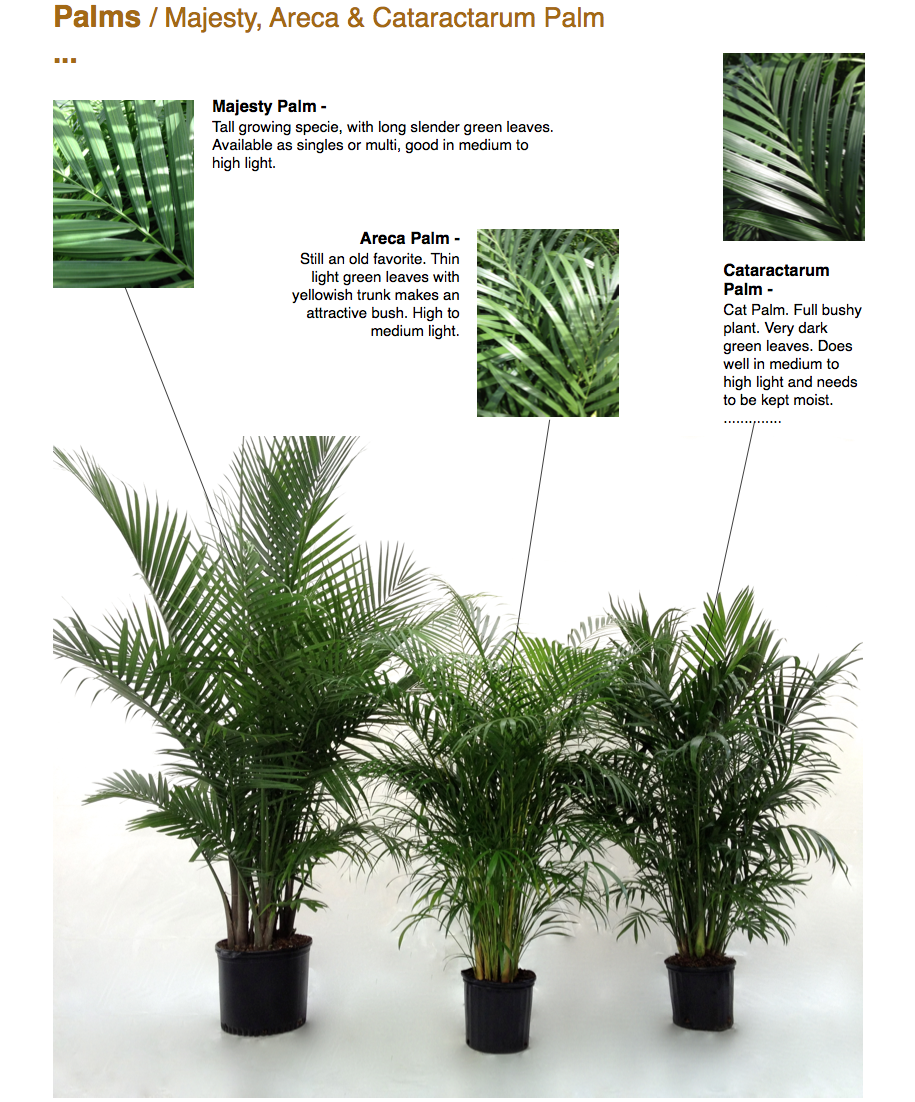 Palms / Majesty, Areca & Cataractarum Palm ...  Majesty Palm - Tall growing specie, with long slender green leaves. Available as singles or multi, good in medium to high light.  Areca Palm - Still an old favorite. Thin light green leaves with yellowish trunk makes an attractive bush. High to medium light.  Cataractarum Palm - Cat Palm. Full bushy plant. Very dark green leaves. Does well in medium to high light and needs to be kept moist. ..............  CapriFarms.com
