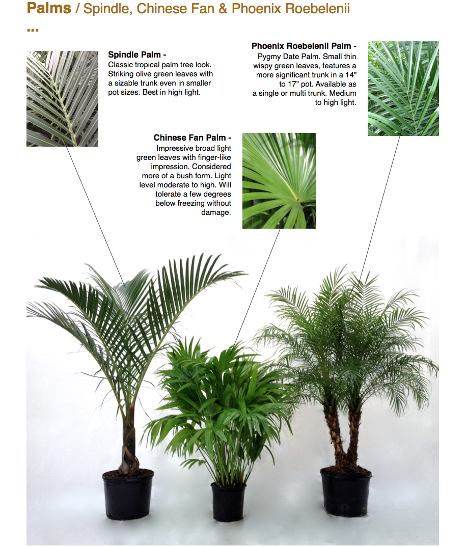 """Palms / Spindle, Chinese Fan & Phoenix Roebelenii ...  Spindle Palm - Classic tropical palm tree look. Striking olive green leaves with a sizable trunk even in smaller pot sizes. Best in high light.  Chinese Fan Palm - Impressive broad light green leaves with finger-like impression. Considered more of a bush form. Light level moderate to high. Will tolerate a few degrees below freezing without damage.  Phoenix Roebelenii Palm - Pygmy Date Palm. Small thin wispy green leaves, features a more significant trunk in a 14"""" to 17"""" pot. Available as a single or multi trunk. Medium to high light.  www.CapriFarms.com"""