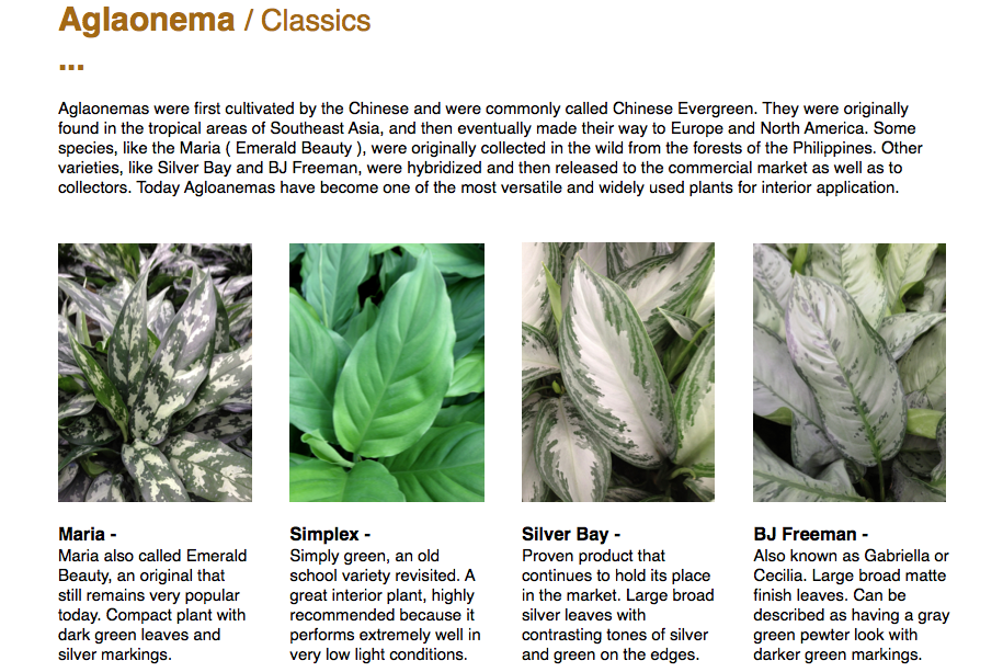 Aglaonema Classics  Aglaonemas were first cultivated by the Chinese and were commonly called Chinese Evergreen. They were originally found in the tropical areas of Southeast Asia, and then eventually made their way to Europe and North America. Some species, like the Maria ( Emerald Beauty ), were originally collected in the wild from the forests of the Philippines. Other varieties, like Silver Bay and BJ Freeman, were hybridized and then released to the commercial market as well as to collectors. Today Agloanemas have become one of the most versatile and widely used plants for interior application.  Maria -  Maria also called Emerald Beauty, an original that still remains very popular today. Compact plant with dark green leaves and silver markings.  Simplex -  Simply green, an old school variety revisited. A great interior plant, highly recommended because it performs extremely well in very low light conditions.       Silver Bay - Proven product that continues to hold its place in the market. Large broad silver leaves with contrasting tones of silver and green on the edges.       BJ Freeman -  Also known as Gabriella or Cecilia. Large broad matte finish leaves. Can be described as having a gray green pewter look with darker green markings.