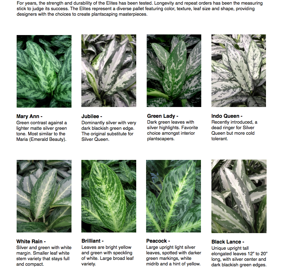 """Aglaonema Elite …   For years, the strength and durability of the Elites has been tested. Longevity and repeat orders has been the measuring stick to judge its success. The Elites represent a diverse pallet featuring color, texture, leaf size and shape, providing designers with the choices to create plantscaping masterpieces.  Mary Ann - Green contrast against a lighter matte silver green tone. Most similar to the Maria (Emerald Beauty).  White Rain - Silver and green with white margin. Smaller leaf white stem variety that stays full and compact.  Jubilee - Dominantly silver with very dark blackish green edge. The original substitute for Silver Queen.  Brilliant - Leaves are bright yellow and green with speckling of white. Large broad leaf variety.  Green Lady - Dark green leaves with silver highlights. Favorite choice amongst interior plantscapers.  Peacock - Large upright light silver leaves, spotted with darker green markings, white midrib and a hint of yellow.  Indo Queen - Recently introduced, a dead ringer for Silver Queen but more cold tolerant.  Black Lance - Unique upright tall elongated leaves 12"""" to 20"""" long, with silver center and dark blackish green edges."""