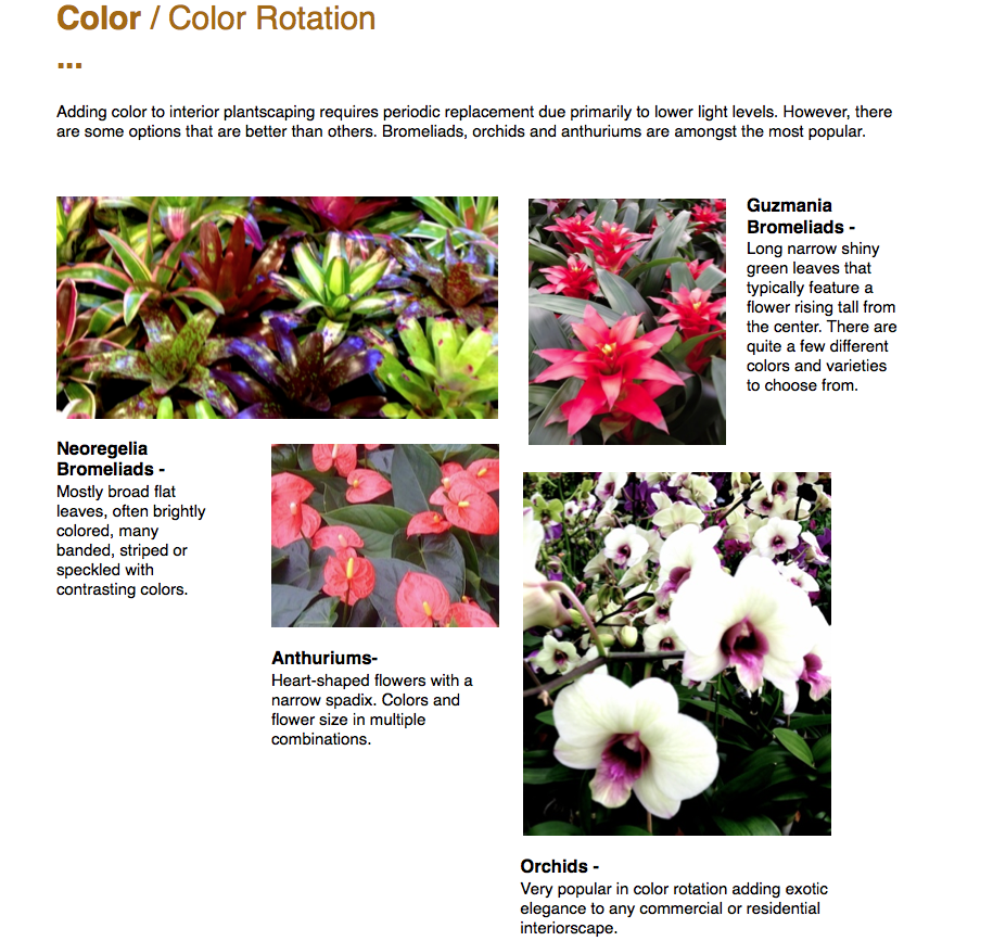 Color / Color Rotation ...  Adding color to interior plantscaping requires periodic replacement due primarily to lower light levels. However, there are some options that are better than others. Bromeliads, orchids and anthuriums are amongst the most popular.  Neoregelia Bromeliads - Mostly broad flat leaves, often brightly colored, many banded, striped or speckled with contrasting colors.  Guzmania Bromeliads - Long narrow shiny green leaves that typically feature a flower rising tall from the center. There are quite a few different colors and varieties to choose from.  Anthuriums- Heart-shaped flowers with a narrow spadix. Colors and flower size in multiple combinations.  Orchids - Very popular in color rotation adding exotic elegance to any commercial or residential interiorscape.