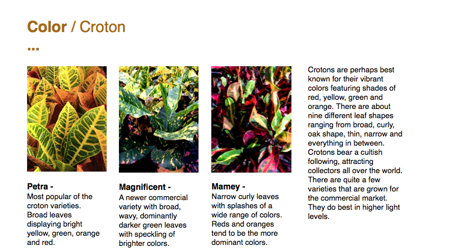 Color / Croton ...  Crotons are perhaps best known for their vibrant colors featuring shades of red, yellow, green and orange. There are about nine different leaf shapes ranging from broad, curly, oak shape, thin, narrow and everything in between. Crotons bear a cultish following, attracting collectors all over the world. There are quite a few varieties that are grown for the commercial market. They do best in higher light levels.  Petra - Most popular of the croton varieties. Broad leaves displaying bright yellow, green, orange and red.  Magnificent - A newer commercial variety with broad, wavy, dominantly darker green leaves with speckling of brighter colors.  Mamey - Narrow curly leaves with splashes of a wide range of colors. Reds and oranges tend to be the more dominant colors.