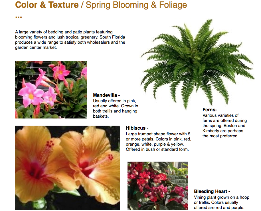 Color & Texture / Spring Blooming & Foliage ...  A large variety of bedding and patio plants featuring blooming flowers and lush tropical greenery. South Florida produces a wide range to satisfy both wholesalers and the garden center market.  Mandevilla - Usually offered in pink, red and white. Grown in both trellis and hanging baskets.  Hibiscus - Large trumpet shape flower with 5 or more petals. Colors in pink, red, orange, white, purple & yellow. Offered in bush or standard form.  Ferns- Various varieties of ferns are offered during the spring. Boston and Kimberly are perhaps the most preferred.  Bleeding Heart - Vining plant grown on a hoop or trellis. Colors usually offered are red and purple.  Capri Farms Homestead, Florida www.CapriFarms.com