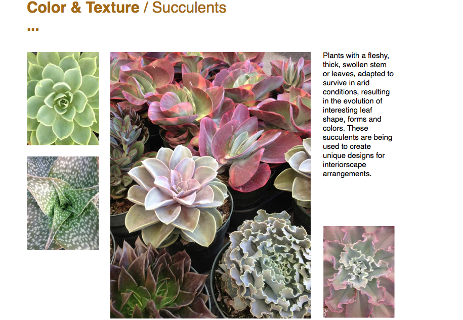 Color & Texture / Succulents ...  Plants with a fleshy, thick, swollen stem or leaves, adapted to survive in arid conditions, resulting in the evolution of interesting leaf shape, forms and colors. These succulents are being used to create unique designs for interiorscape arrangements.